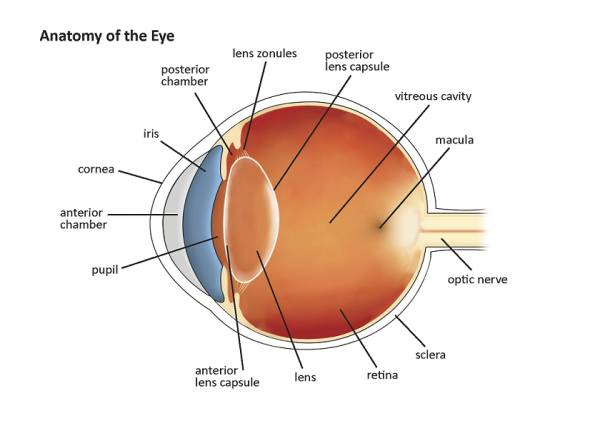 Basic anatomy of the eye